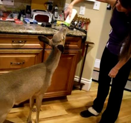 Every Day This Woman Gets A Wild Deer To Follow Her Into Her Home and Feeds It