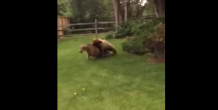 Bear Attacks a Deer In Someones Back Yard