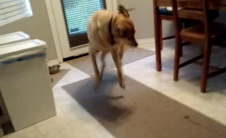 Dog Jumps Around When Getting Fed